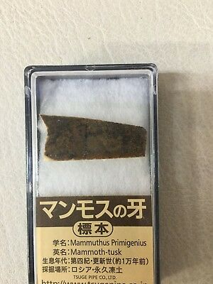 Mammoth  tusk specimen about 10 thousand years ago Russia permafrost JAPAN