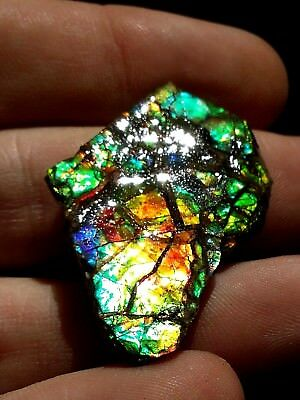 NEW AMMOLITE Rough Gem Canadian Ammonite Fossil Cab Ready Natural DISPLAY BOX