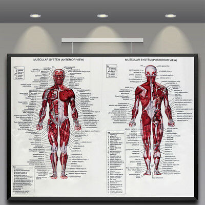 HUMAN BODY MUSCLE Anatomy System Poster Anatomical Chart Educational ...