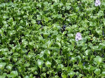 45 to 65 Bulbs of Water Hyacinth Floating Pond Plants (end of Season Sale)