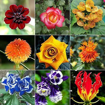 30 Mixed Style Rare Rose Daisy Seeds Cosmo Calliopsis Garden Plant Flower Durabl