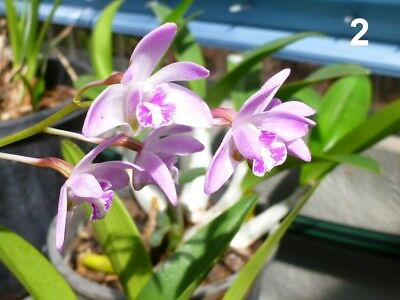 Bicolor Ground orchid Spathoglottis plicat-Purple & White/UK hardy/unusual rare