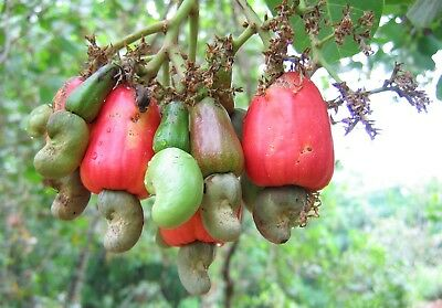"""Nature's vitamin pill"" Cashew nuts-  Fresh Cashew Seeds for Growing  Rare"