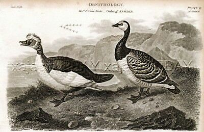 Bird GOOSE Barnacle Goose, Muscovy Duck, Rare Antique 1820 Steel Engraving Print