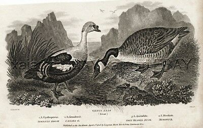 Bird GOOSE Canada Goose, King Eider Sea Duck, Antique 1820 Steel Engraving Print