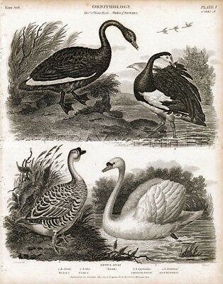 BIRD Swan Breeds, Beautiful Rare Antique 1820 Steel Engraving Print
