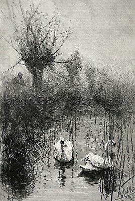 Bird Swan Hunting Wild Swans, Hunter, Large 1880s Antique Print