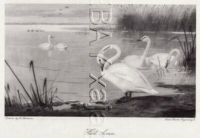 BIRD Trumpeter Swan 1890s Antique Collotype Print by Thornburn