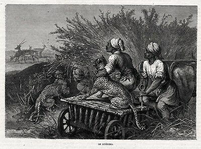 Cheetah Trained to Hunt Gazelle, Blindfolded, 1880s Antique Print & Article
