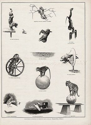 Circus Animal Training Dog Monkey Pig Rabbit Tiger 1890s Antique Print & Article