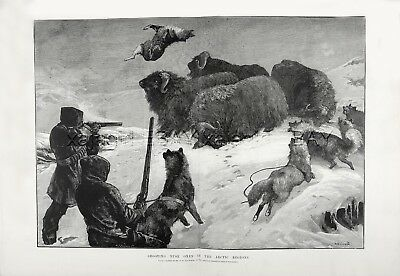 Dog Alaskan Malamute Sled Dogs Vs Musk Oxen, Huge Double 1880s Antique Print