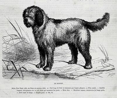 Dog Barbet French Water Dog, Breed Description, 1870s Antique Print & Article
