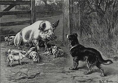 Dog Border Collie Greets Pig Sow with Piglets, Large 1880s Antique Print