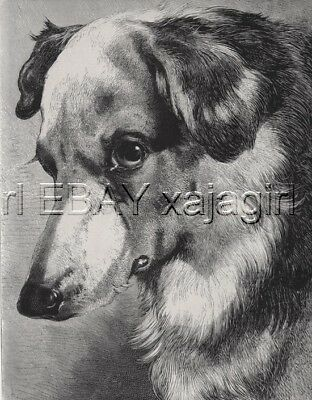 DOG Border Collie. Portrait of Beautiful Dog, LARGE Antique Print from 1880s