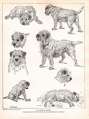 DOG Border Terrier Dogs Sketched Views, Beautiful Art Print 1930s