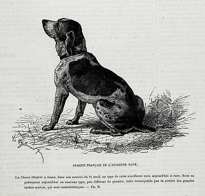Dog Braque Francais Pyrenees French Pointer, 1870s Antique Engraving Print