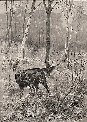 Dog Flat-Coated Retriever Pointing Woodcock in FOrest, Large 1880s Antique Print