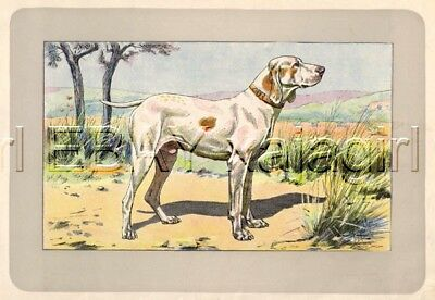 DOG French Pointer Ariege (French Braque), Rare Antique 100-Year-Old Print