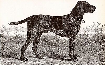 DOG German Shorthaired Pointer Sketch Portrait, Beautiful Art Print from 1930s