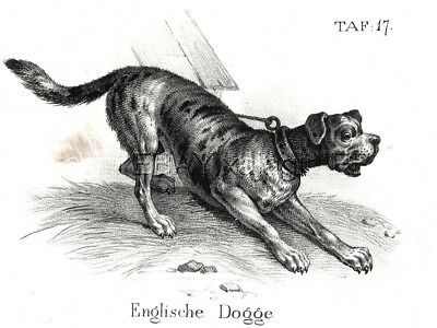 Dog Mastiff  As Breed Looked 170 Years Ago, Antique 1842 Engraving Print
