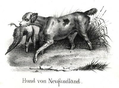 Dog Newfoundland as It Looked 170 Years Ago! Antique 1842 Engraving Print