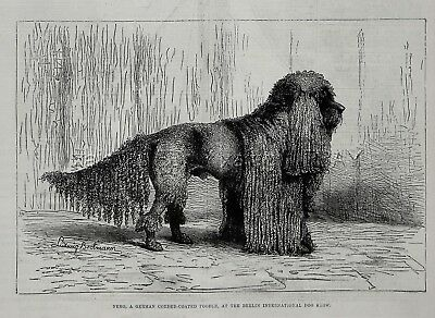 Dog Poodle Champion, Natural Corded Coat (Named Nero), Large 1880s Antique Print
