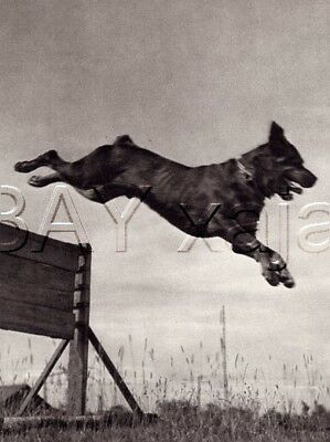 DOG Rottweiler Doing Agility, Quality Vintage 1941 Print