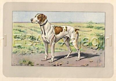 DOG St Germain Pointer (Braque) Rare Antique 100-Year-Old French Dog Print