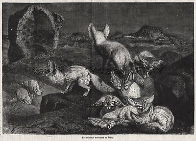 Fennec Fox Pack in Desert, Large 1870s Antique Engraving Print & Article