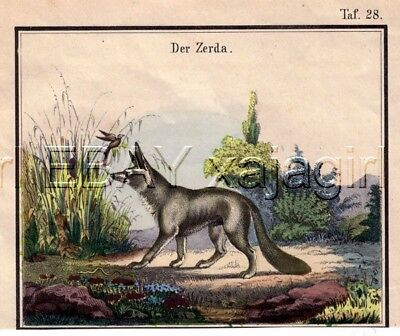 Fennec Fox, Antique 19th C.Hand-Colored Engraving Print