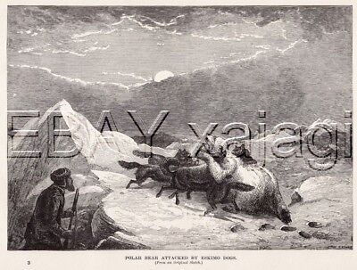 POLAR BEAR Attacked by Eskimo Dogs, Antique Print circa 1880s