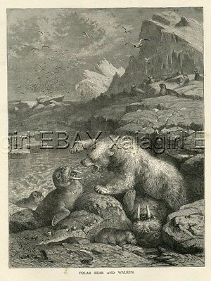 POLAR Bear vs Walrus, LARGE Quality 1880s Print