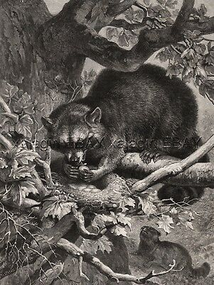 Raccoons Steal Eggs From Bird's Nest, Large 1880s Antique Print