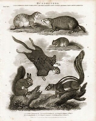 Squirrel Breeds, Flying, Common, Striped, Antique 1820 Steel Engraving Print