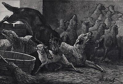Wolf Attacks Sheep When Livestock Guardian Dog Gone, Large 1870s Antique Print