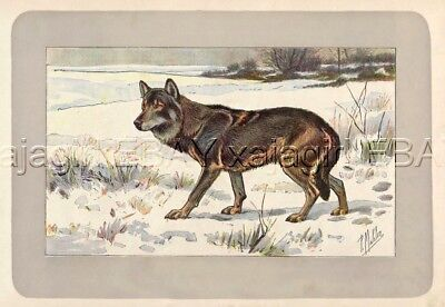 Wolf Gray Timber, Rare Antique 100-Year-Old French Animal Print