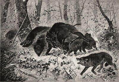 Wolf Pack Attacks Wild Boar Mother & Drove of Piglets, Large 1880s Antique Print