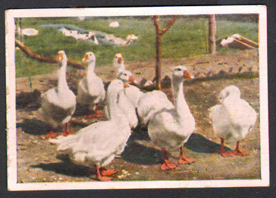 BIRD Goose Danish Landrace, Antique 1930 Trading Card