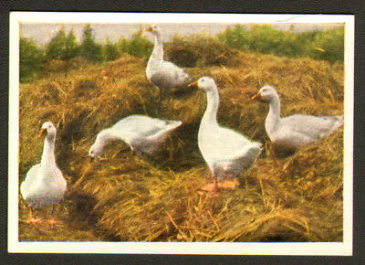 BIRD Goose Embden Goose, Antique 1930 Trading Card