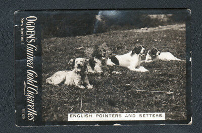 DOG English Setters & Pointers Photo Trading Card, 1902