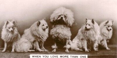 DOG Poodle & Volpino Spitz, Photo Trading Card, 1930s