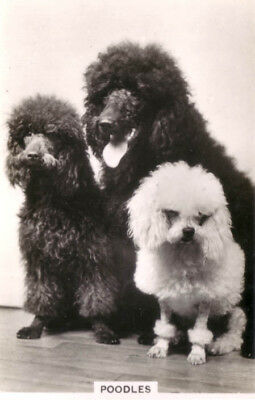 DOG Poodle, 3 Sizes! Trading Card, Real Photo, 1930s