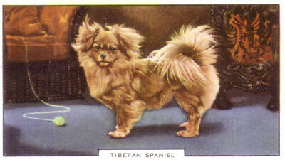 DOG Tibetan Spaniel, Colorful Trading Card, 1930s