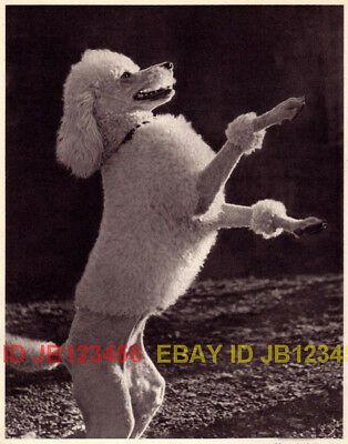 DOG Poodle Miniature White Begging, Quality 1941 Print