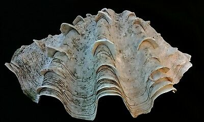 Large Vintage Clam Seashell 12 Inches Wide