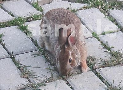 1 Bunny Rabbit Eating Grass Meal Digital Picture Photo Image Design Jpeg Project