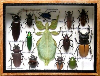 Real Insect Rare Insects Display PHYLLIUM Taxidermy in Wood Box Collectible