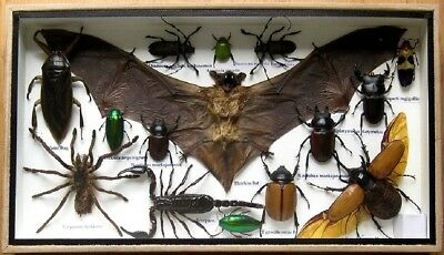 Real Insect Display Taxidermy Entomology Beetle Big Set in Box Collectible