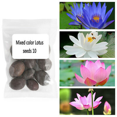 40 Pcs  LOTUS FLOWER SEEDS AQUATIC PLANTS Lotus Water Lily Seeds Home Decor K3L6