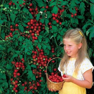 Tomato Tree Live Plants Plugs Garden Planters Cherry Seeds Vegetable Home